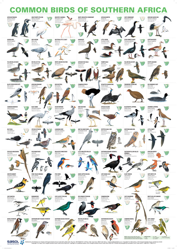 Common Birds of Southern Africa Poster